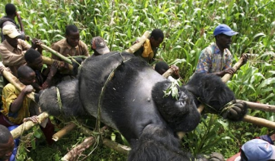 Conservation Rangers from an Anti-Poaching unit work with locals to evacuate the bodies of four Mountain Gorrillas killed in mysterious circumstances in the park, July 24, 2007, Virunga National Park, Eastern Congo.