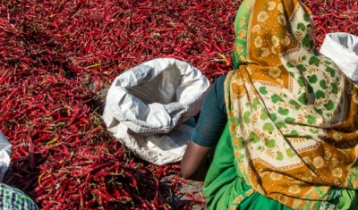 Workers drying freshly plucked chilies for further processing at Gabbur, Raichur district, Karnataka, India.